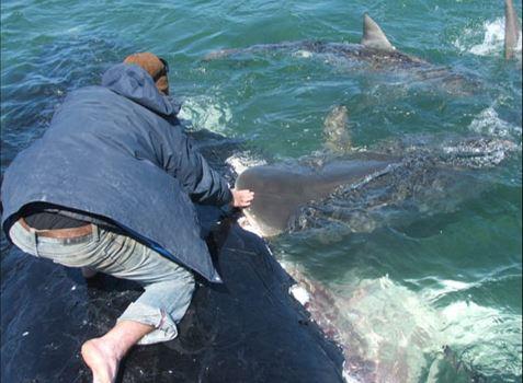 Feeding sharks on a whale's back